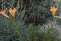 H20130909-9785—Mimulus aurantiacus—Katherine Greenberg (9780776513).jpg