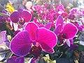 HK CWB 維園年宵市場 Victoria Park Fair - flowers purple 蘭花 Jan-2012 Ip4.jpg