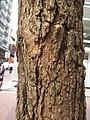 HK CWB 銅鑼灣 Causeway Bay 渣甸街 Jardine's Bazaar tree trunk bark stem skin October 2017 IX1.jpg