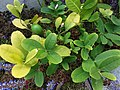 HK Mid-levels High Street clubhouse green leaves plant February 2019 SSG 45.jpg
