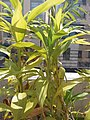 HK Mid-levels High Street clubhouse green leaves plant February 2019 SSG 57.jpg