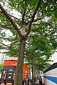HK Shek Tong Tsui 中西區 Western District 豐物道 Fung Mat Road tree 欖仁樹 Terminalia mantaly April 2018 IX2 05.jpg