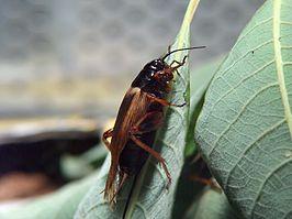Zuidelijke veldkrekel (Gryllus bimaculatus)
