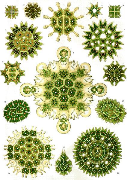 ファイル:Haeckel Melethallia.jpg