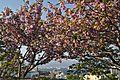 Hakodate Sakura View of Harbour.jpg