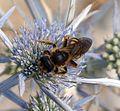 Halictus scabiosae. Female - Flickr - gailhampshire (1).jpg