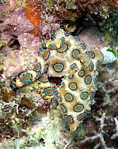 An octopus among coral displaying conspicuous rings of turquoise outlined in black against a sandy background