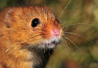 Eurasian harvest mouse - Portrait
