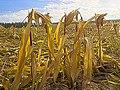 Harvested (29883033334).jpg