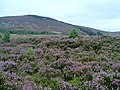 Heather on the Hills by Lochindorb - geograph.org.uk - 913142.jpg