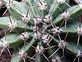 Hedgehog cactus (14302764030).jpg