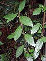 Hedycarya angustifolia Blue Mountains.JPG