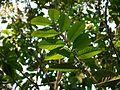 Hekke Rakalu (Kannada- ಹೆಕ್ಕೆ ರಕಲು) (6782381600).jpg