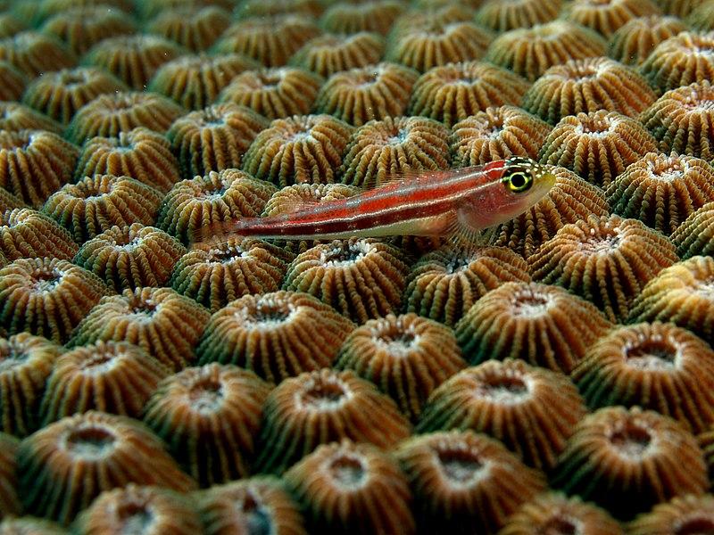 File:Helcogramma striata (Neon triplefin) on Diploastrea heliopora (Hard coral).jpg