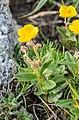 Helianthemum italicum var. alpestre at Col de Coux (2).jpg