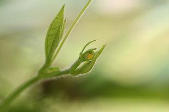 Heliconius charithonia - Image: Heliconius charithonia egg