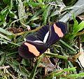 Heliconius erato - Flickr - gailhampshire.jpg