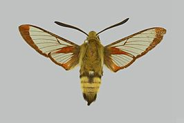 Hemaris senta BMNHE274287 male up.jpg