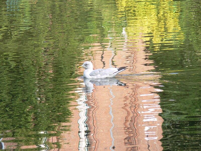 A Herring gull Larus argentatus in a canal in Brugge