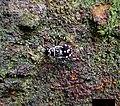 Heteropteran Nymph (48825618756).jpg
