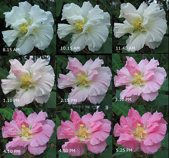 Hibiscus mutabilis - Changing colors of the flower during a day