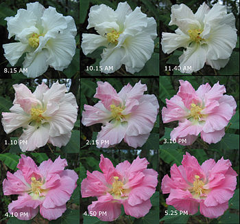 Combined photo of a Hibiscus mutabilis flower showing its color changing from white to rose during a day's time.