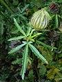 Hibiscus trionum 2017-09-28 5623.jpg