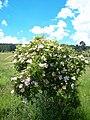Hip (Rosa canina) - panoramio.jpg