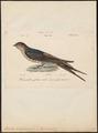 Hirundo senegalensis - 1842-1848 - Print - Iconographia Zoologica - Special Collections University of Amsterdam - UBA01 IZ16700143.tif