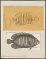 Holacanthus diacanthus - 1700-1880 - Print - Iconographia Zoologica - Special Collections University of Amsterdam - UBA01 IZ13100225.tif