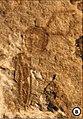 Holcoptera schlotheimi NHMUK I.6682.jpg