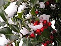 Holly Berries in Snow - geograph.org.uk - 136731.jpg