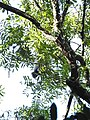 Hoolock Gibbon DSCN1410 03.jpg