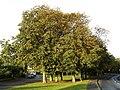 Horse Chestnut Trees on Magdalen Lane - geograph.org.uk - 582554.jpg