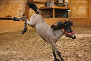 Bucking - A loose horse may buck due to aggression or fear, as the very high kick of this horse suggests