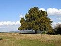 Horsechestnut Tree at Whitcliff Park - geograph.org.uk - 247462.jpg