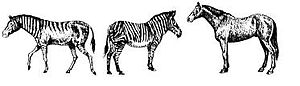 Hagerman horse - Artist's reconstruction of Hagerman horse (left) with Grevy's zebra (middle) and Domesticated horse (right).