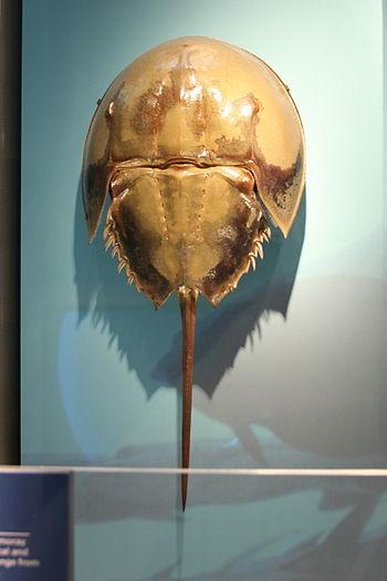 The horseshoe crab or Atlantic horseshoe crab ...