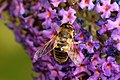 Hoverfly id (3832134105).jpg