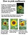 How to pick sunflowers (3850674430).jpg