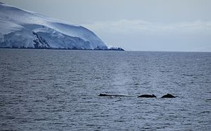 Gerlache Strait - Image: Humpback Whales in the Gerlache Strait, Antarctica (6295482849)