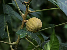 Hura crepitans (fruit).jpg