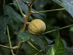Hura crepitans (fruit).jpg