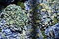 Hydrangea macrophylla Mathilda Gutges 1zz.jpg