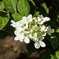 Hydrangea paniculata-IMG 8629.jpg