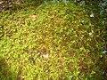 Hylocomium splendens 01.JPG