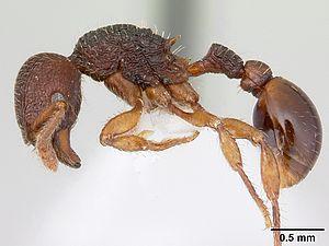 Hylomyrma balzani - Hylomyrma balzani worker specimen