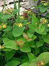 Hypericum androsaemum6