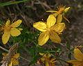 Hypericum perforatum subsp. veronense Gavoi 950m 20072014.jpg