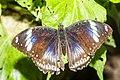 Hypolimnas bolina (?) Naturospace Honfleur -7140.jpg